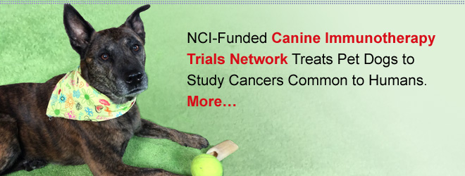 NCI-Funded Canine Immunotherapy Trials Network Treats Pet Dogs to Study Cancers Common to Humans. More…